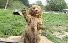 Video of the Week - Quand les ours agitent les mains